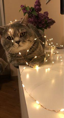 Шотландский прямоухий кот. Вязка.