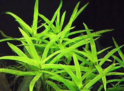 Heteranthera Zosterifolia piękna łatwa roślina na 2/3 plan 10 sztuk