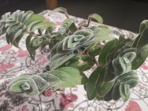 Tradescantia sillamontana planta