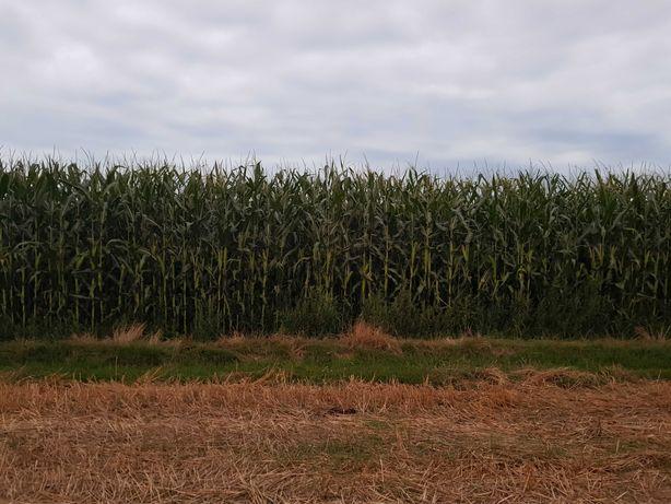 Kukurydza na pniu kiszonka ziarno