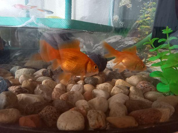 Ryby welony sprzedam