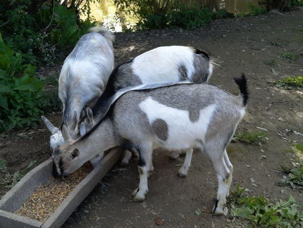 Заанeнські безрогі кози, молочної породи.Обмін на зерно.Кітні.Доставка