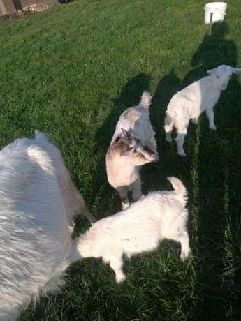 Mloda koza 3 miesiące 150zł