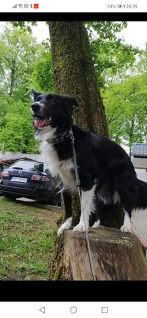 Border collie suczka
