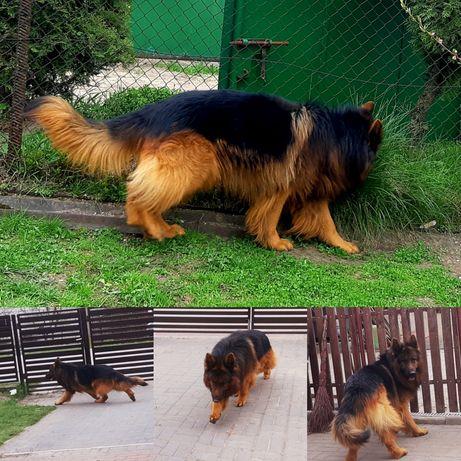 Owczarek  niemiecki pies  możliwa  zamiana