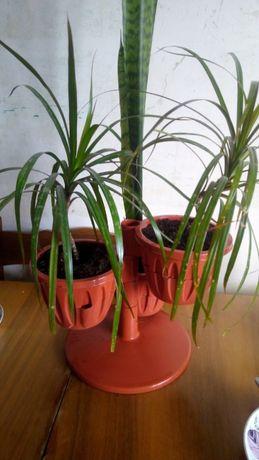 Композиция из 3-х растений: Драцены, Тещин язык