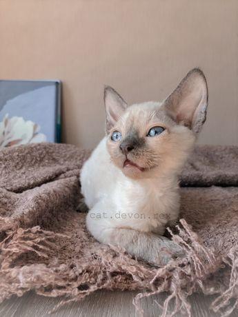 Девон Рекс девочка с голубыми глазками