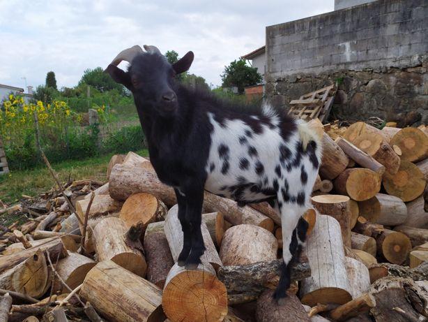 Cabras Anãs - Cabrito Manso