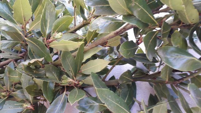 Folhas de louro  biológico