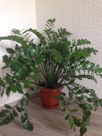 Комнатное растение Замискулькас