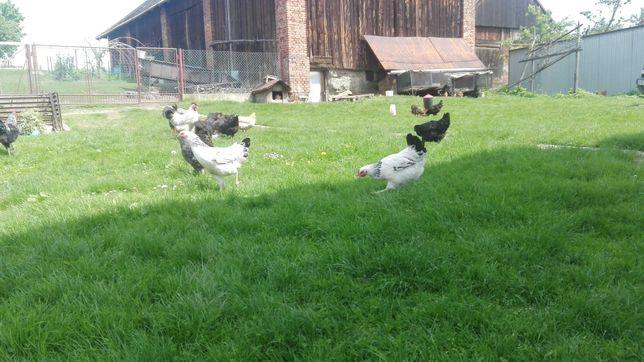 Swojskie jajka od kur z wolnego wybiegu. Jaja ekologiczne.