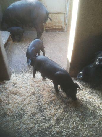 Leitões porco preto alentejano