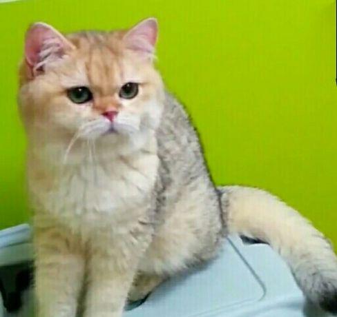 Золотая шиншилла котик для достойного содержания.