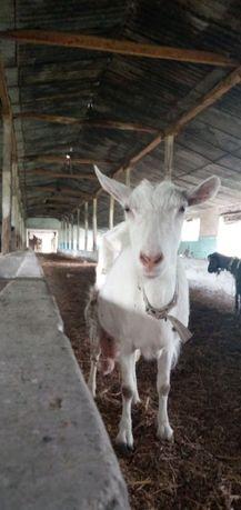 Продаю кози(вибор)