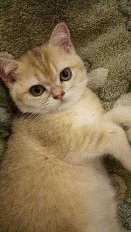 Шотландский котенок окраса золотая шиншилла ny 25