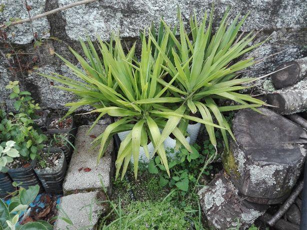 Fiteiros yucca