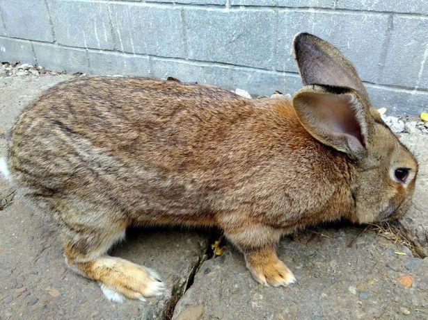 Кролики, кролі, крилі молодняк