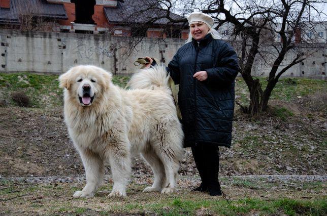 Кавказская овчарка КСУ - гигант - Щенок - Щенки