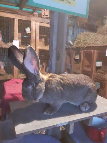 Samiec królika olbrzyma belgijskiego szarego