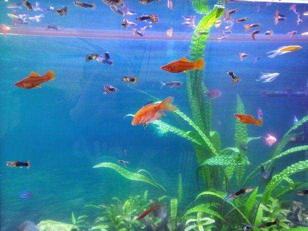 Гупі(дорослі акваріумні рибки)