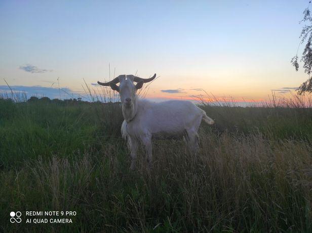 Зааненский козлик на племя от высокоудойной козы