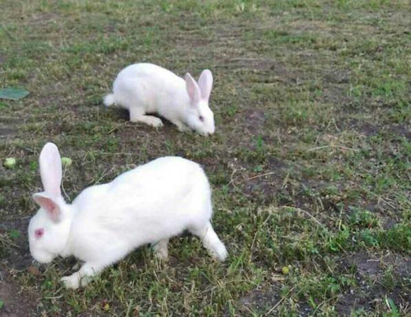 Кролі термонці білі.