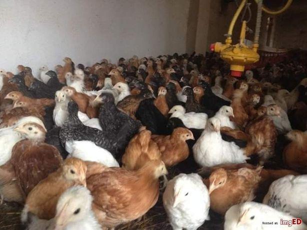 Kurczaki kuronioski