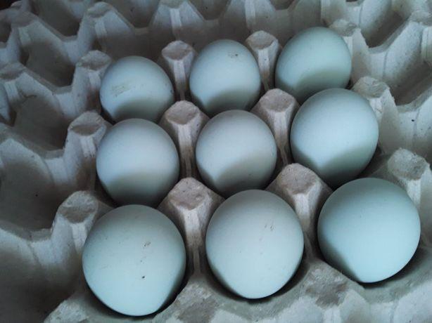 Яйцо голубое Легбар