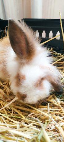 Kit de coelho anão angora