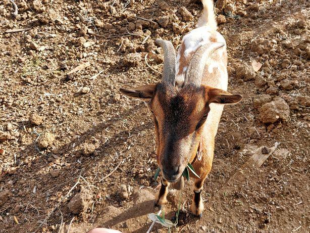 Cabras Anãs fêmeas e machos