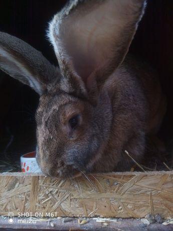 Królik króliki belg,baran francuski i srokacz