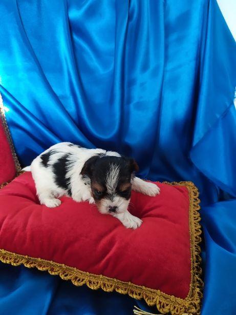 MINI-piesek-Biewer Yorkshire Terrier po Champion-PL.