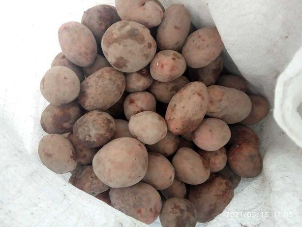 Продам картоплю їстивну