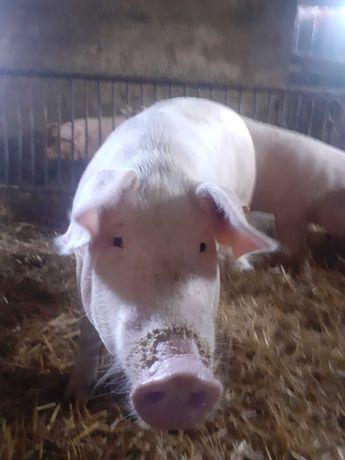 Sprzedam Swinie ekologiczna
