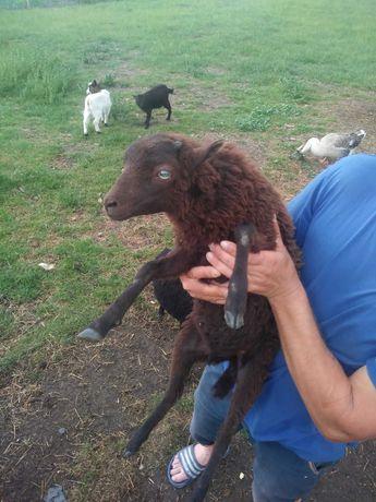 Owca i baranek Quessant