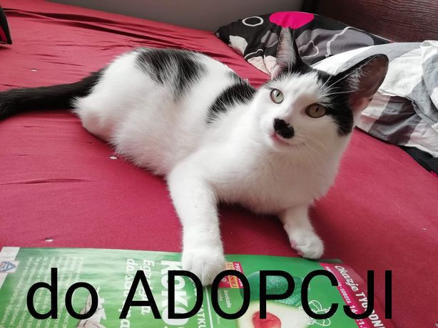 Kot Folfik / Adolfik - do adopcji