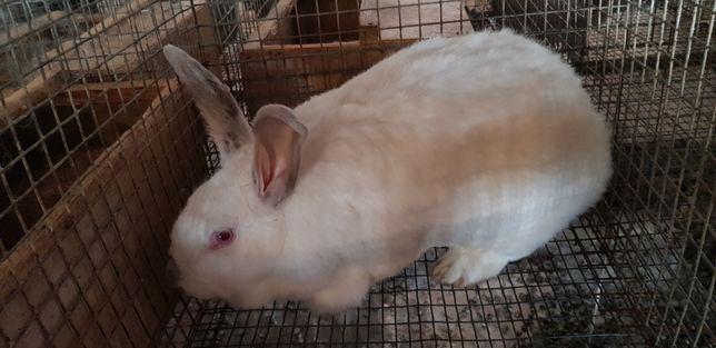 Продам живих кролів.