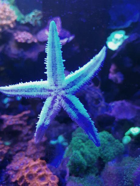 Archaster Typicus rozgwiazda piaskowa akwarium morskie