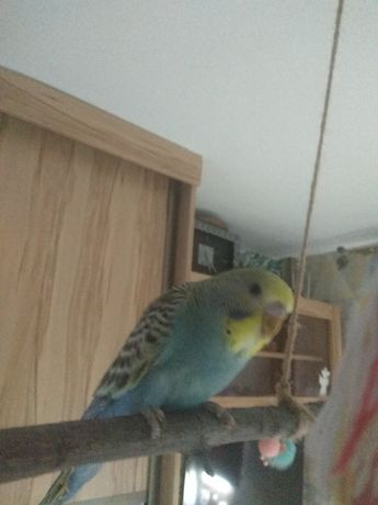 Papugi papużki papuga  faliste falista  tęczowe 7 tyg -  3 szt