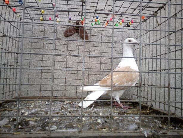 Gołębie śląski Tarczowy żółty samiec