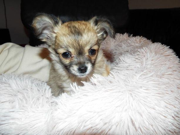 Chihuahua długowłosy piesek (ZKwP, FCI)