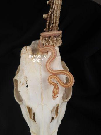 Wąż zbożowy Butter Stripe het bloogred samiec 11.