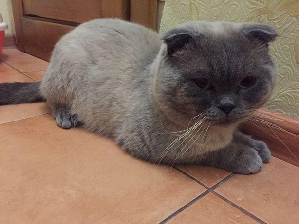 Вязка кота шотландского вислоухого Тома