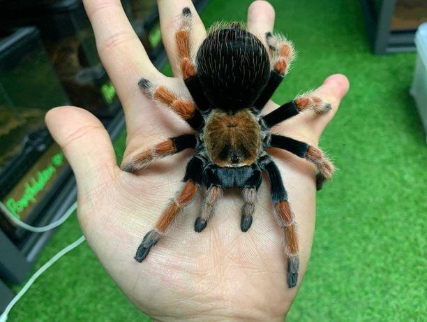 Brachypelma boehmei паук птицеед для новичков с доставкой Тарантул