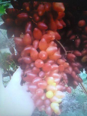 Саженцы винограда Столовые,Киш-миш,Технические сорта 1-2 лет