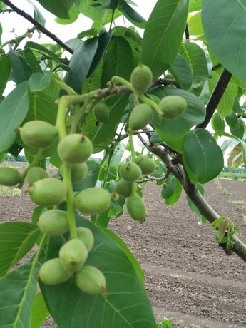 Саджанці грецького горіха форм Кочерженко та нових сортів.