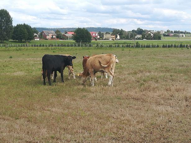 Zarloki byczki miesne