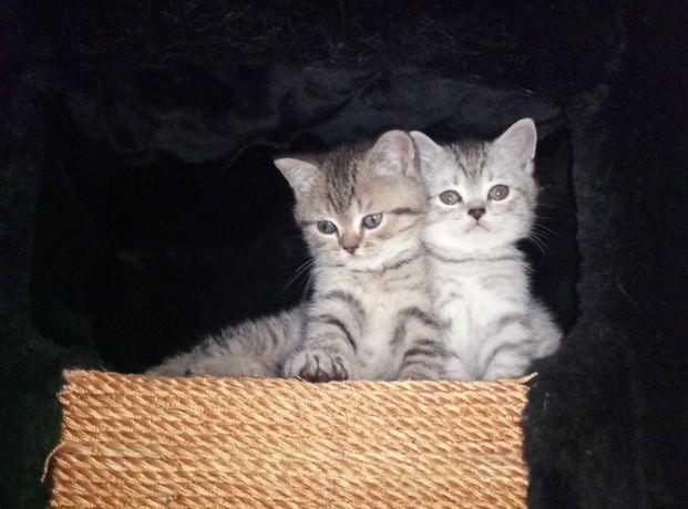 Продам шотландских котят окрас вискас