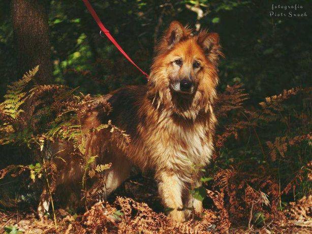 Bjorn/Collin piękny pies w typie owczarka niemieckiego