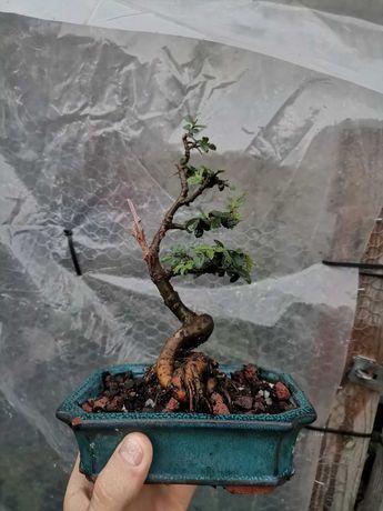 Vendo Bonsai de Ulmus Parvifolia